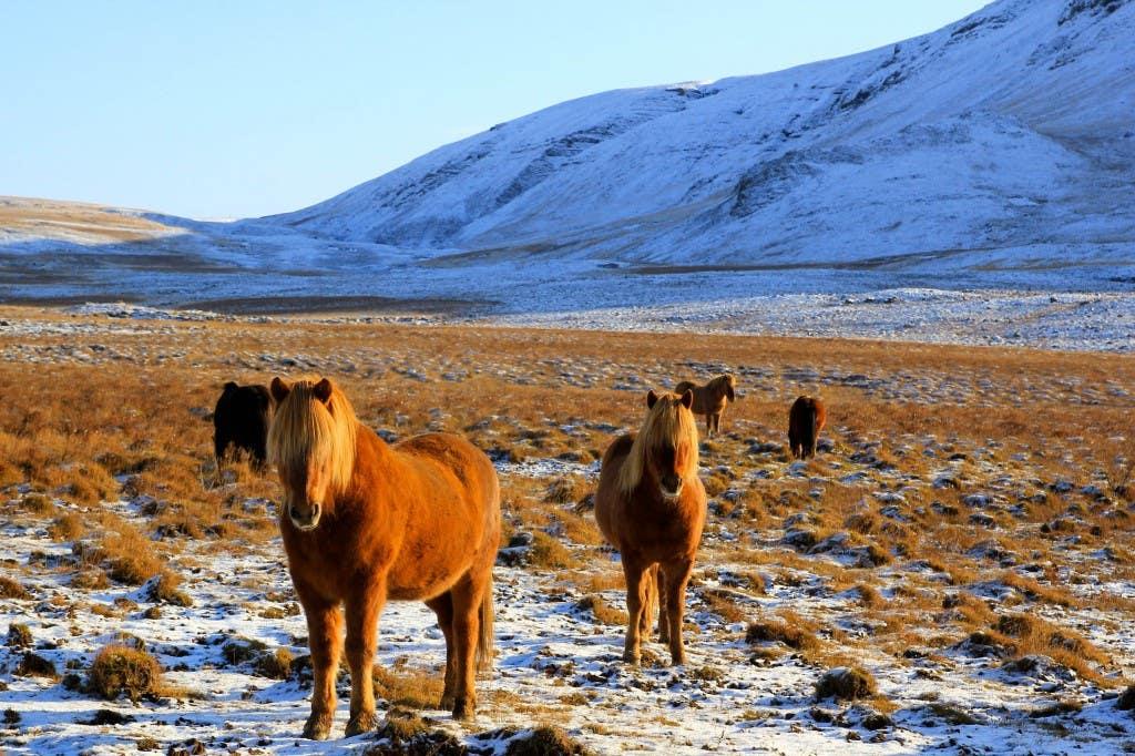 Horses Iceland photo Dave Casey