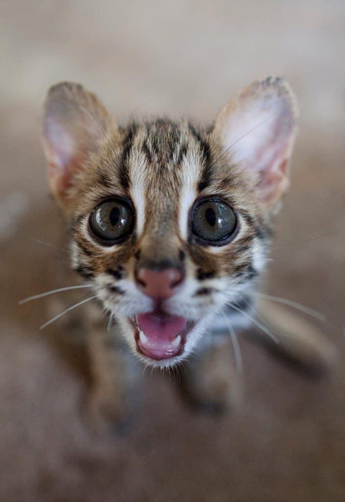 43--Leopard-Cat-Kitten(3)-small