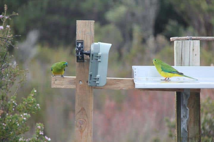 Orange-bellied parrots checking out DPIPWE remote camera monitoring equipment