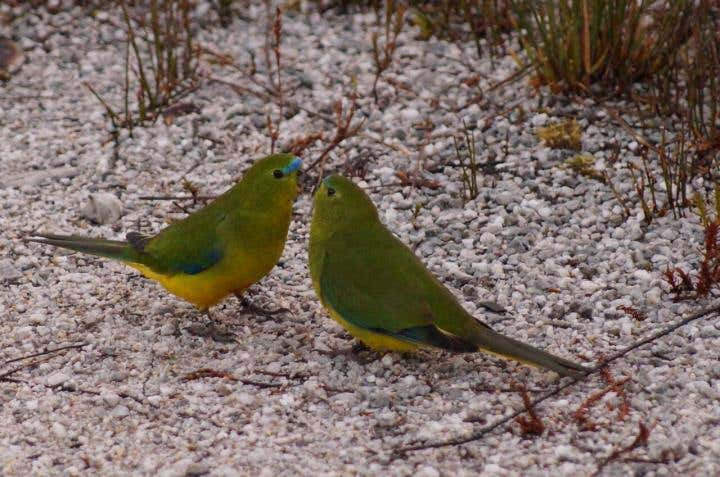 Orange-bellied parrots mating