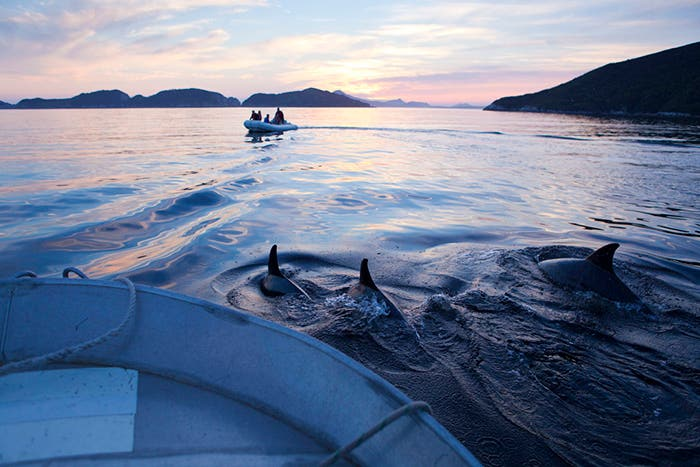 Bottlenose dolphins in Port Davey's Bramble Cove at sunset in Tasmania. Two boats with people in vessels pictured.