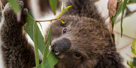 Koala To Promote the Great Koala National Park