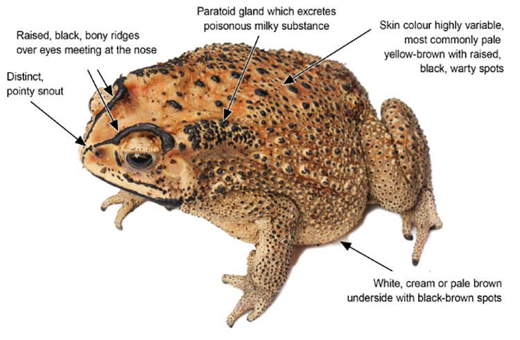 Invasive Black Spined Toad