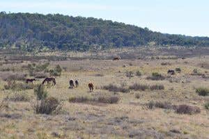 Wild Brumbies grazing on Long Plain