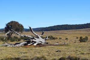 Old dead tree on Long Plain in the Snowy Mountains