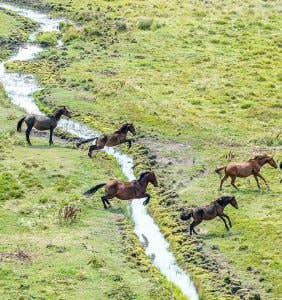 Feral horses running through and damaging a stream in the Snowy Mountains National Park