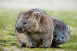 Native Australian animals - Tasmanian Land Conservancy