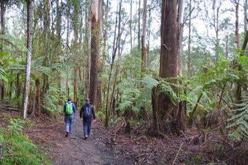 Eastern Sherbrooke Forest Loop, Dandenong Ranges. Photograph: The Bushwalking Blog