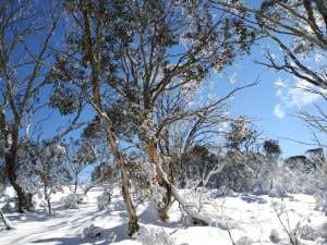 Snowy bushland in Australian Alps
